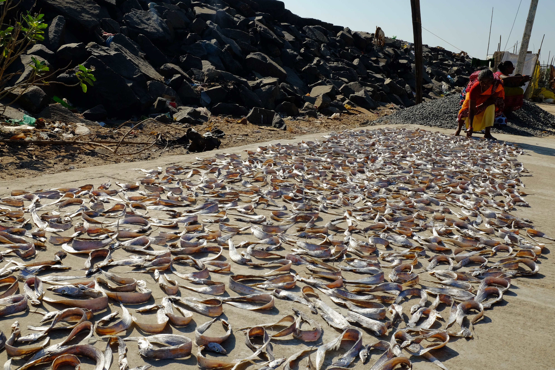 Photographie de poissons séchant au soleil à Pondichéry