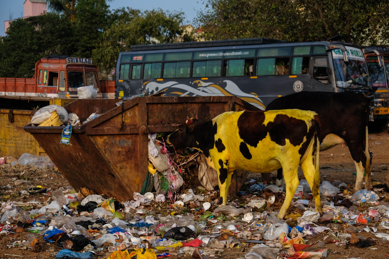 Photo d'une vache colorée en Inde mangeant des ordures