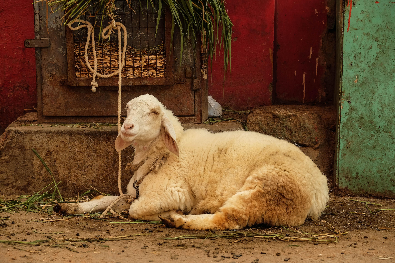 Photo d'un mouton dans les rues indiennes.