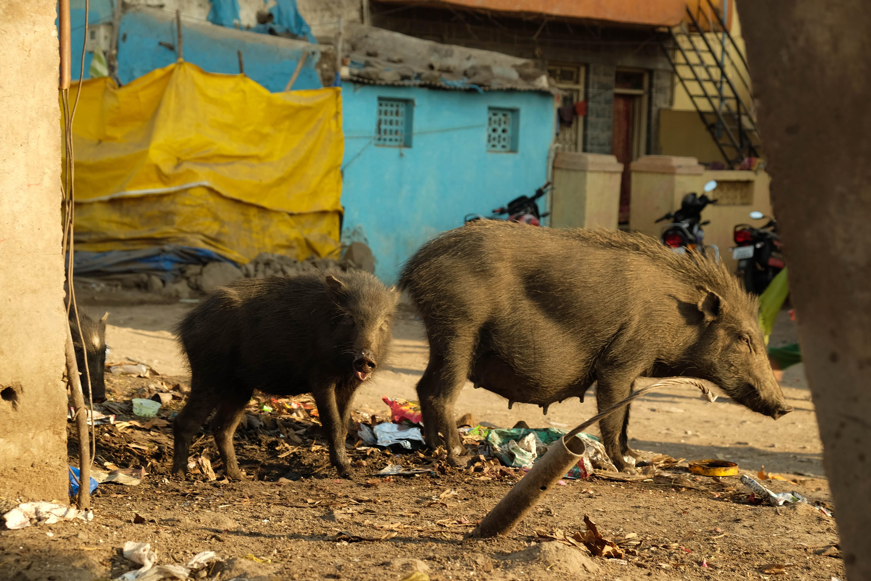 Cochons noirs dans les ordures de Bijapur