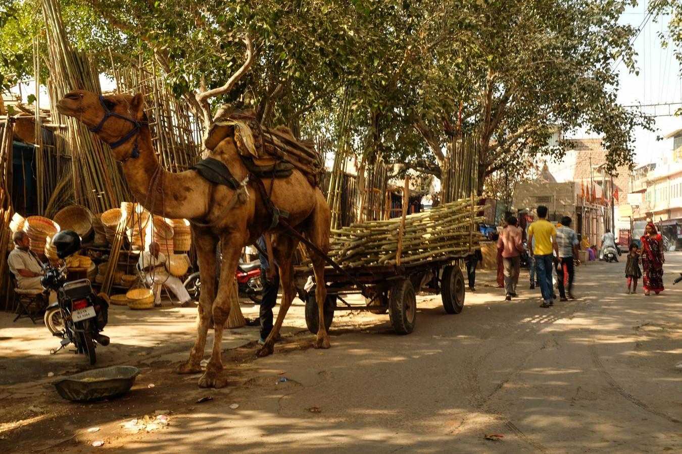 dromadaire (ou chameau) dans les rues de Jodhpur