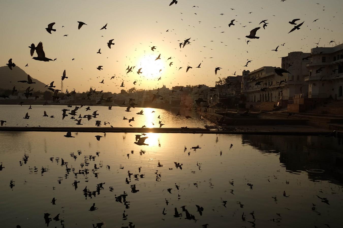 Pigeons au coucher de soleil à Pushkar