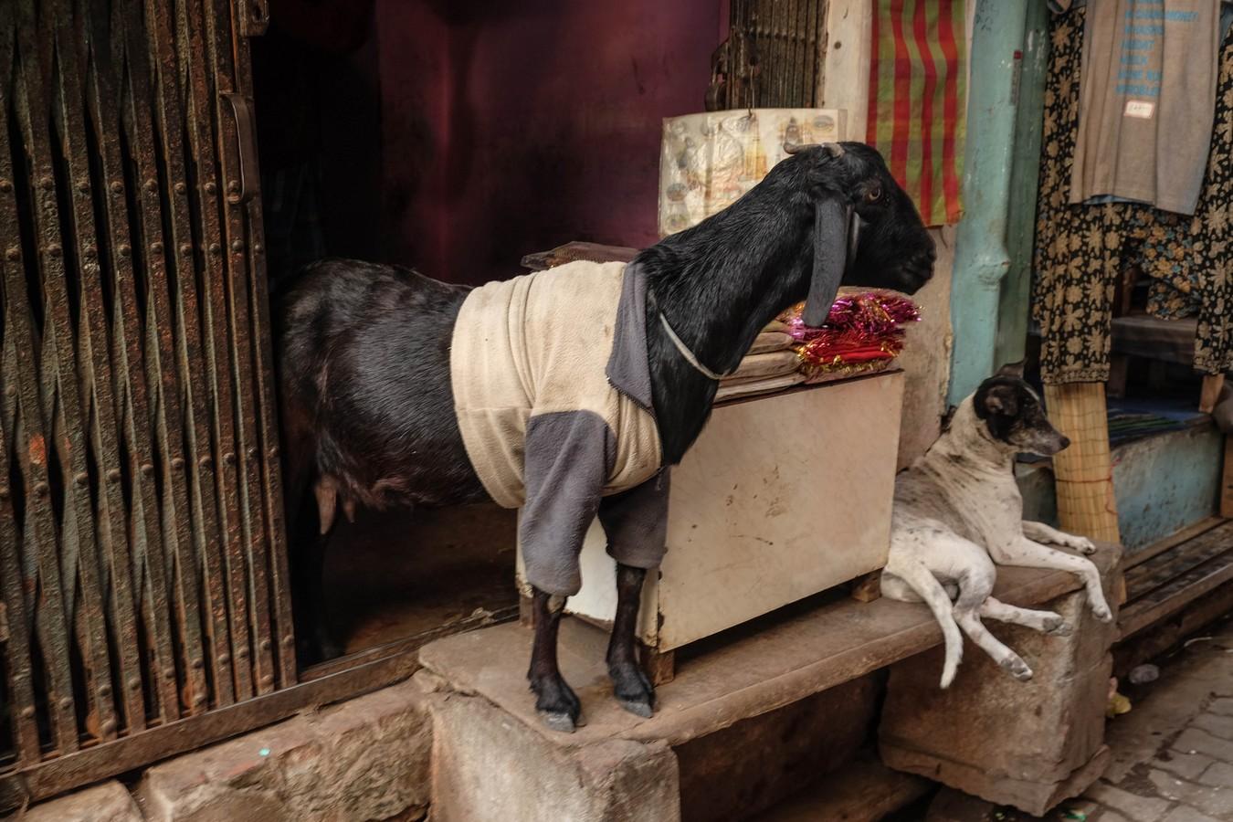 Chèvre vendeuse en pull à Varanasi
