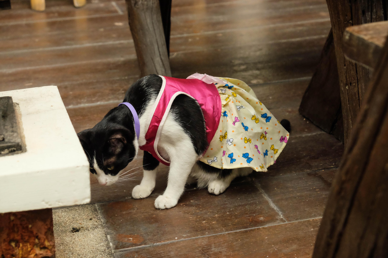 Chat déguisé à Bangkok
