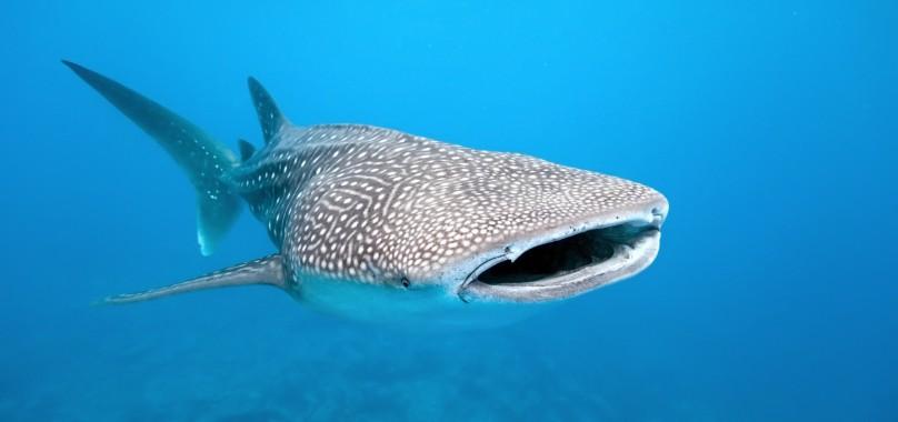 Bouche immense d'un requin-baleine.
