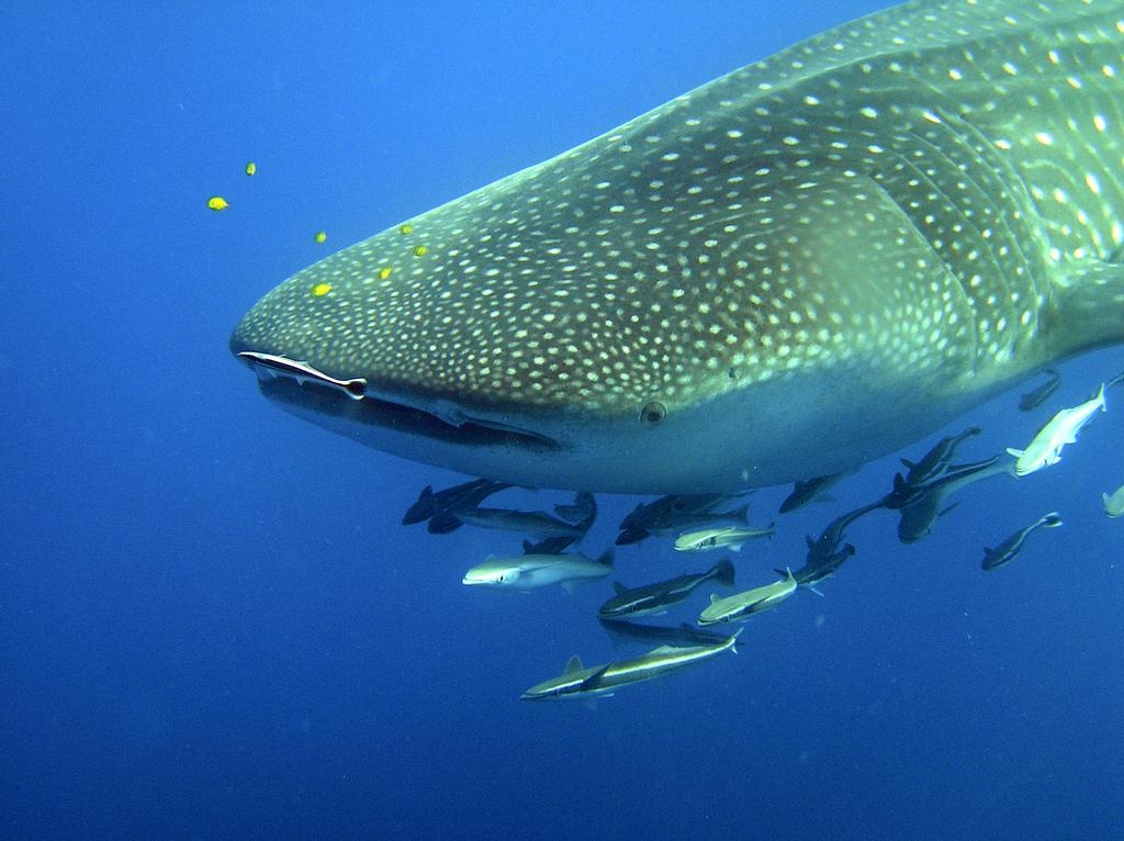 Remoras autour d'un requin-baleine