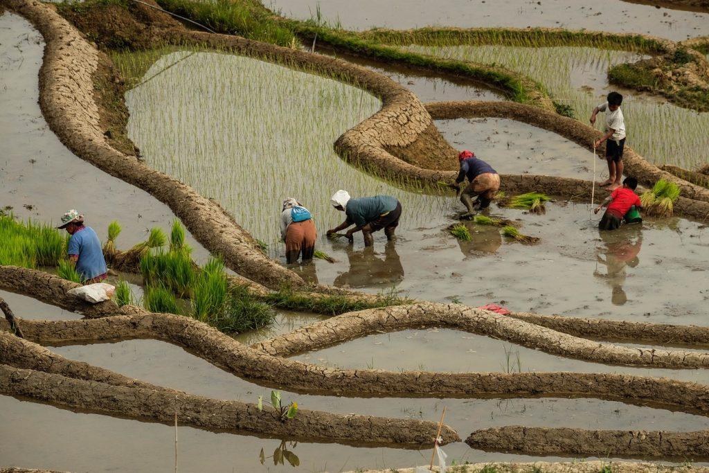 Travailleurs des rizières à Luzon aux Philippines.