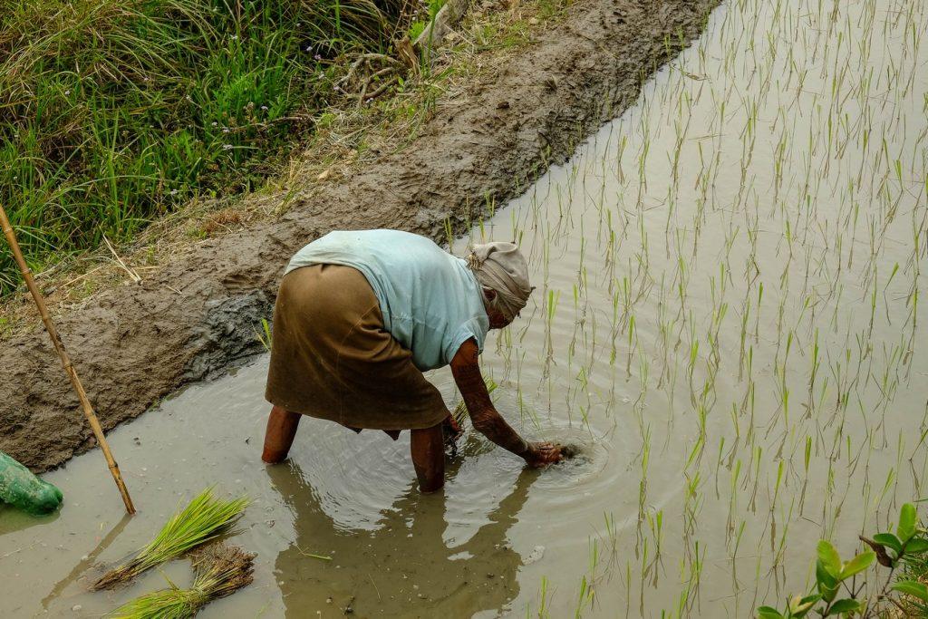 Vieille femme Igorot plantant du riz