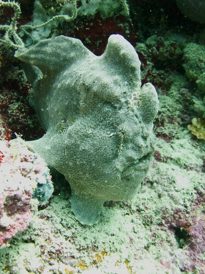 Giant frog fish à Moalboal aux Philippines