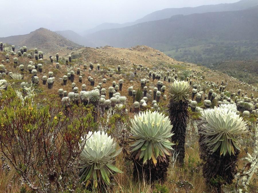 Les frailejones qui peuplent le Páramo de Ocetá en Colombie.