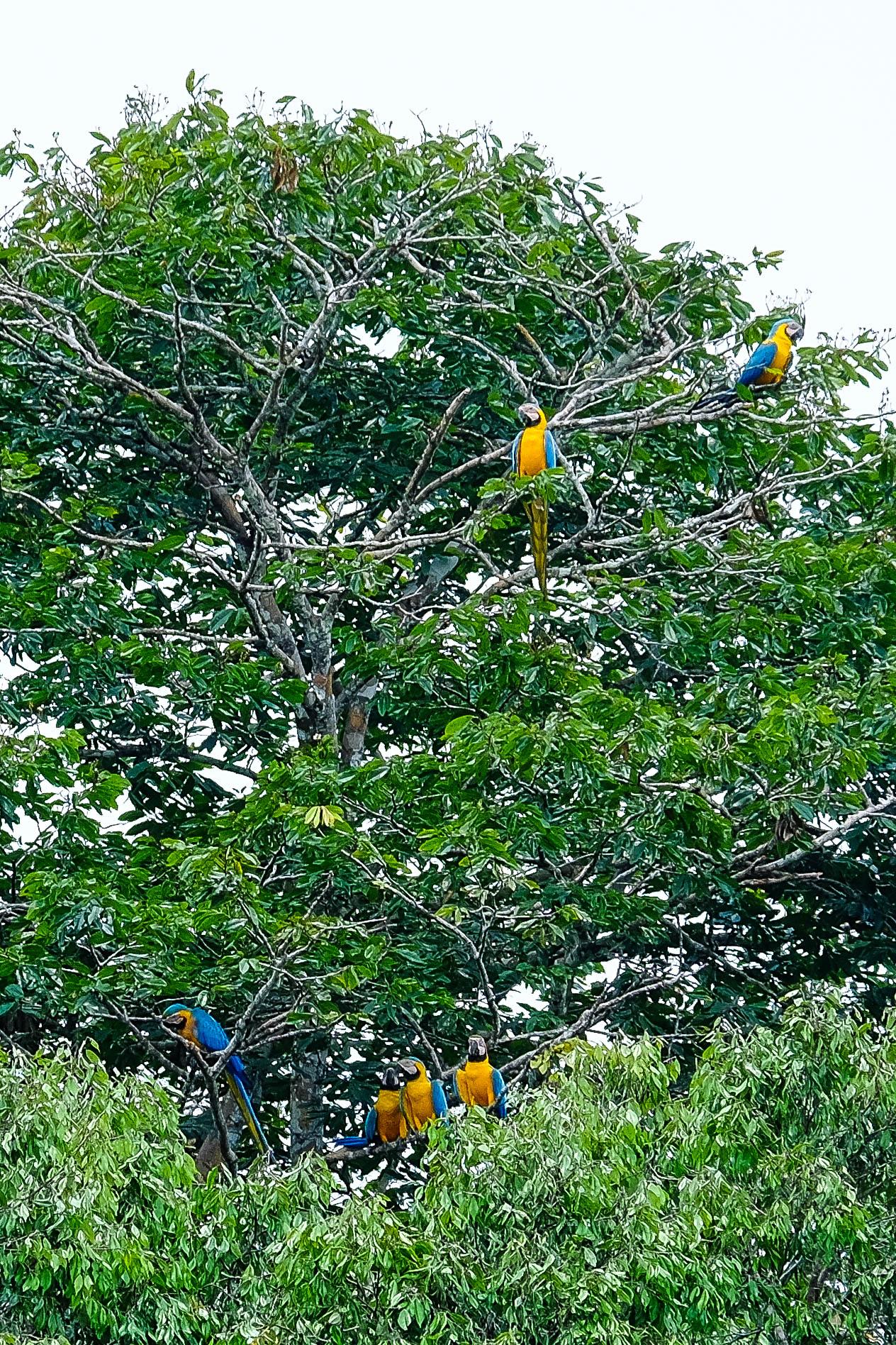 Aras de la réserve de Cuyabeno en Amazonie en Equateur.