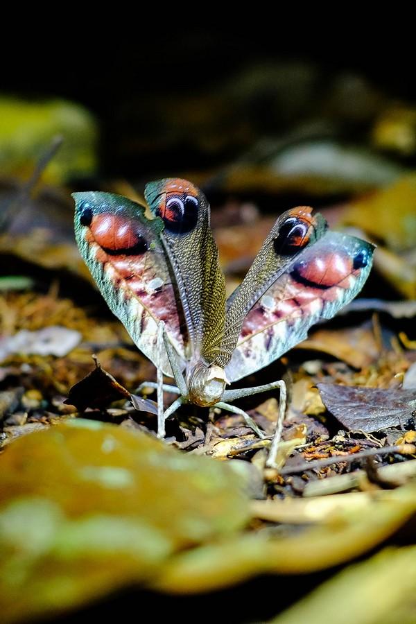 Insecte nocturne de la jungle de l'Amazonie en Equateur.