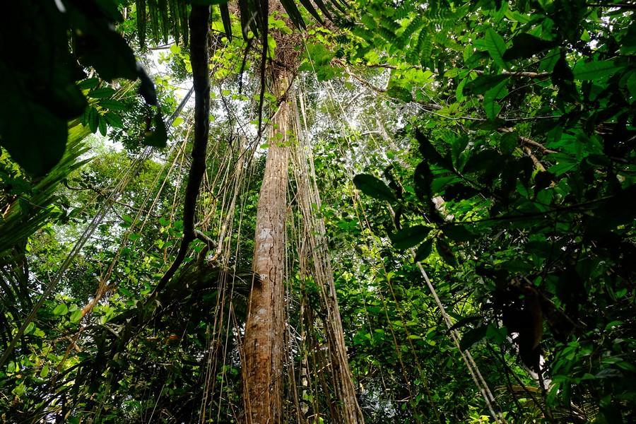Lianes de la réserve de Cuyabeno en Amazonie en Equateur.