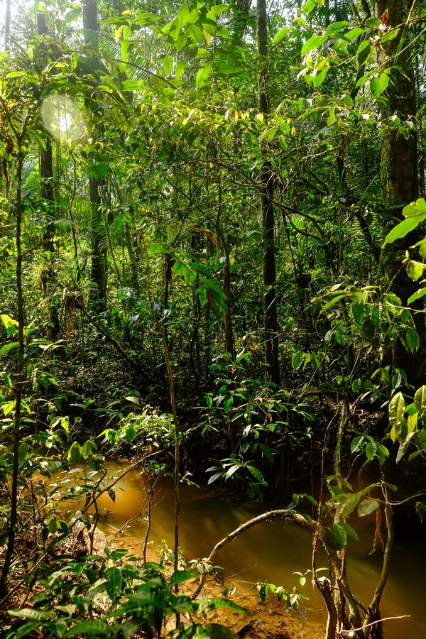 Photo de la jungle dans la réserve de Cuyabeno en Amazonie en Equateur.
