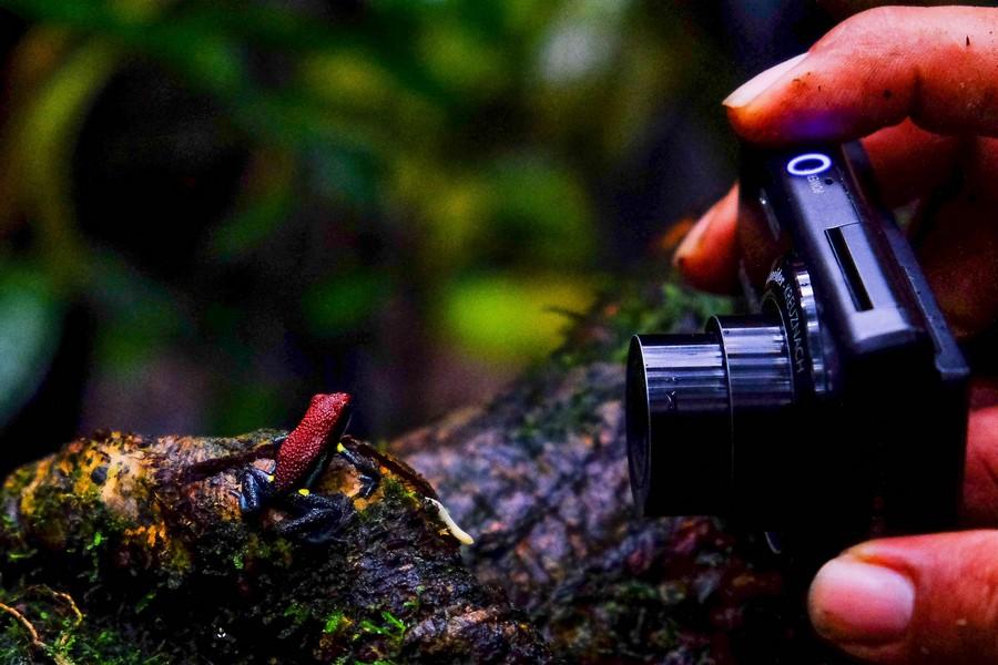 Grenouille venimeuse de la réserve de Cuyabeno en Amazonie en Equateur.