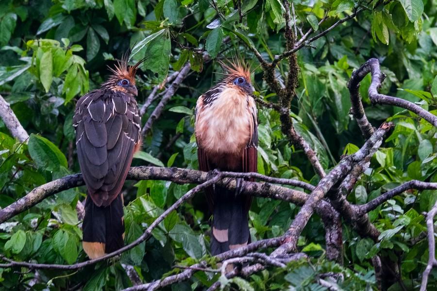 Hoazin huppé de la réserve de Cuyabeno en Amazonie en Equateur.