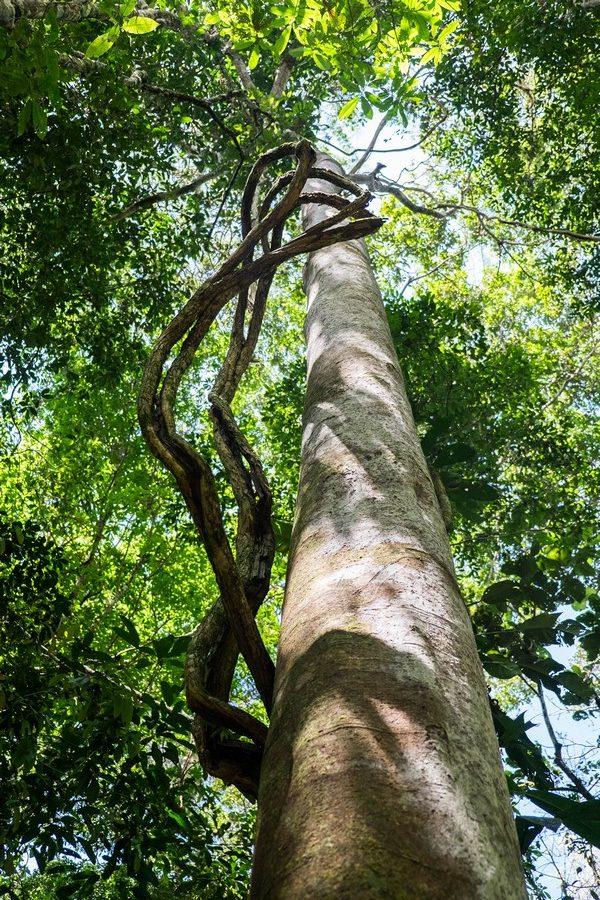 Lianes dans la jungle de la réserve de Cuyabeno en Equateur.