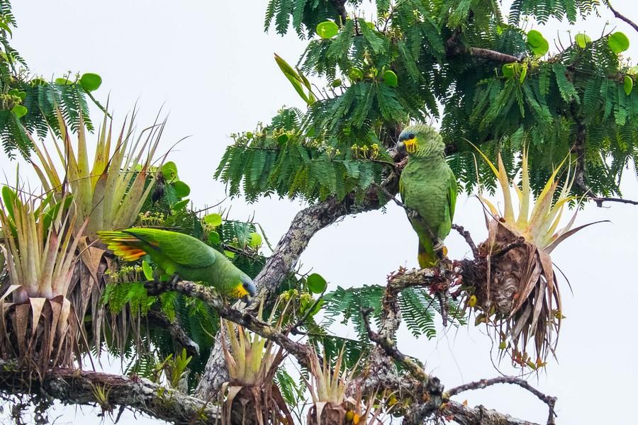 Perroquets dans l'Amazonie en Equateur.