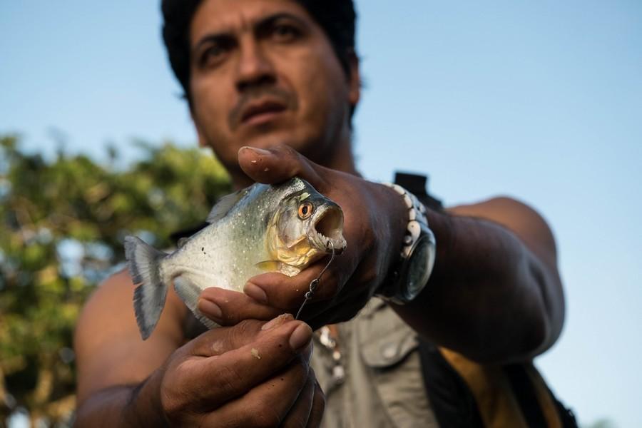Piranha de la réserve de Cuyabeno en Amazonie en Equateur.