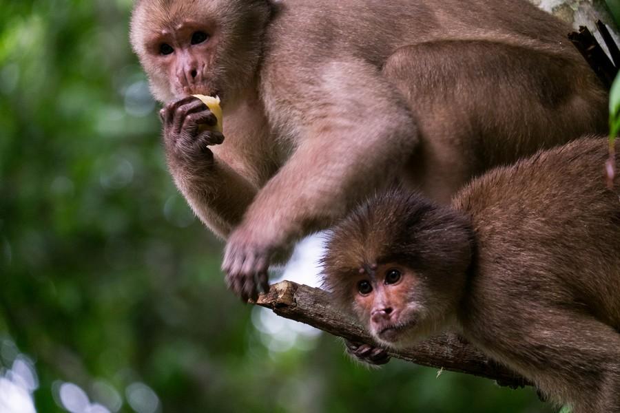 Singes dans la réserve de Cuyabeno en Amazonie en Equateur.