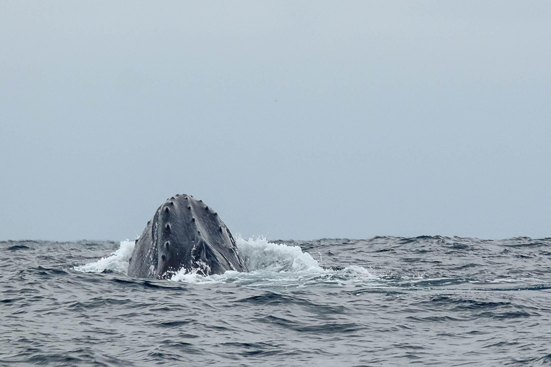 Le dos d'une baleine à bosse, Puerto Lopez, Equateur