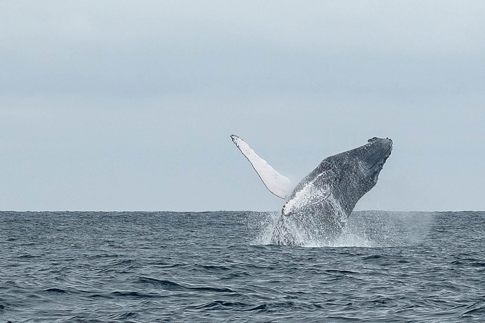 Baleine à bosse, Puerto Lopez, Equateur