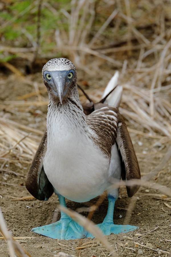 Fou à pattes bleues curieux, Isla de la Plata, Equateur