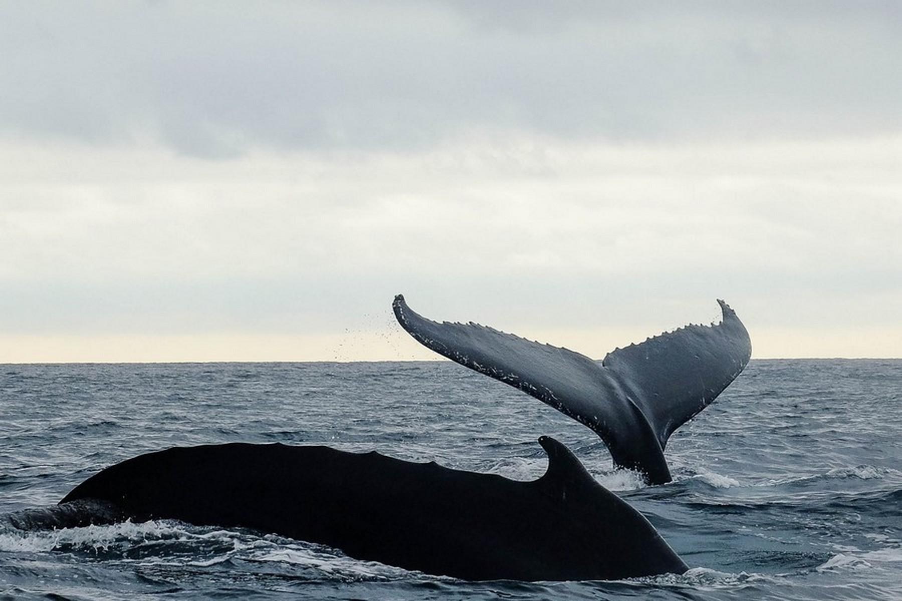 Ballet de baleines à Puerto Lopez, Equateur