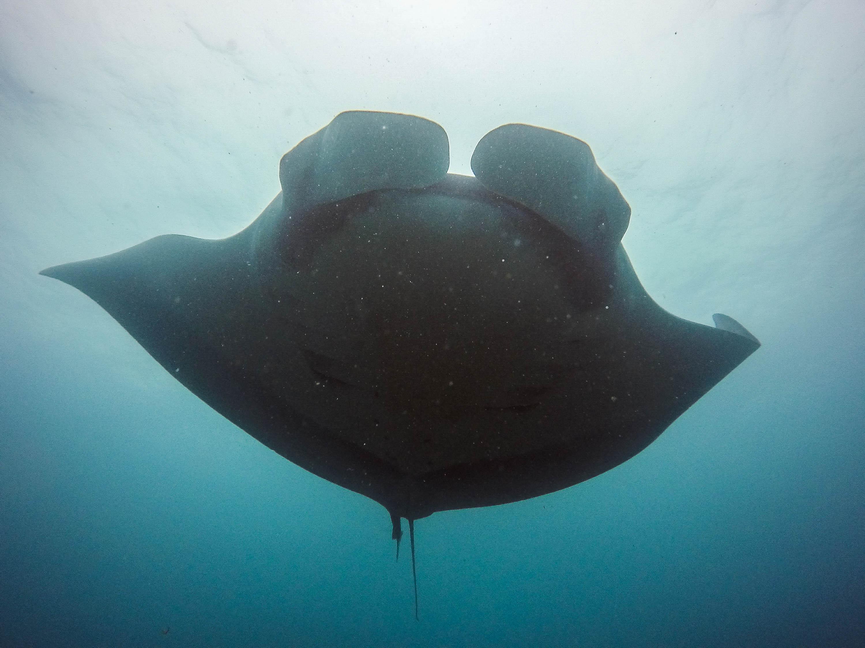 Raie manta nageant en Equateur