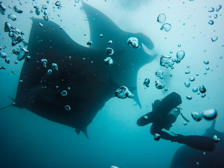 Les bulles des plongeurs caressent les raies manta en Equateur