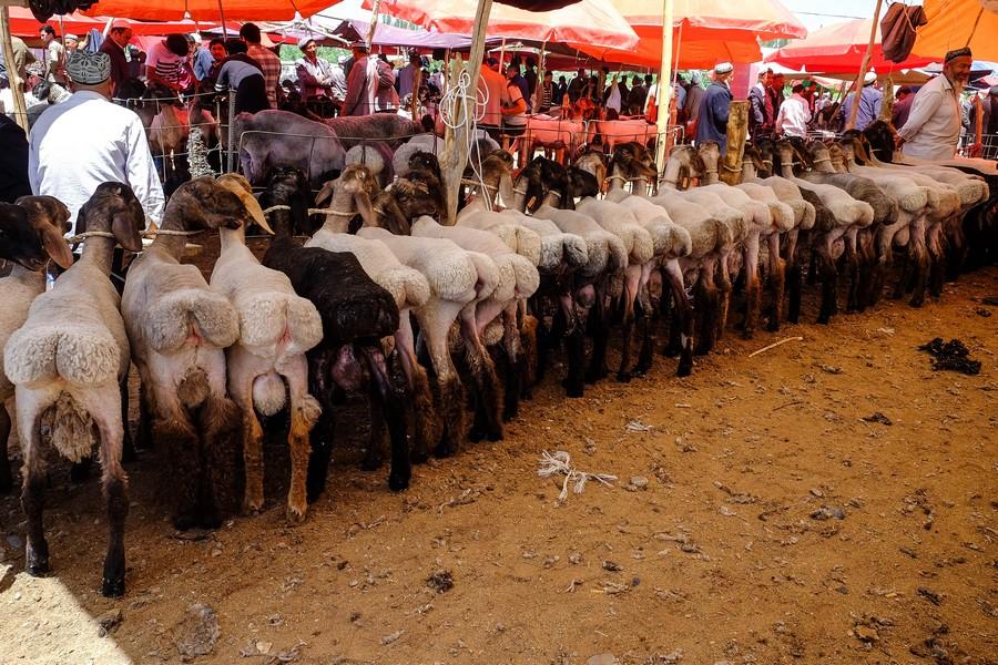 Des moutons bien en chair, marché de Kashgar, Chine.