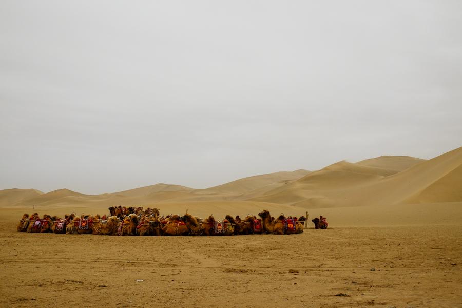 Les chameaux attendent les touristes de la route de la soie à Dunhuang, en Chine
