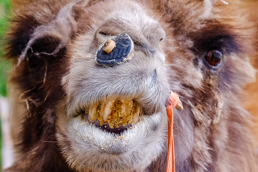 Chameau sur le marché aux animaux de Kashgar, en Chine.