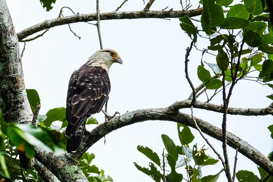 Le fameux aigle de l'Alto de Aguila, Puerto Nariño, Colombie.