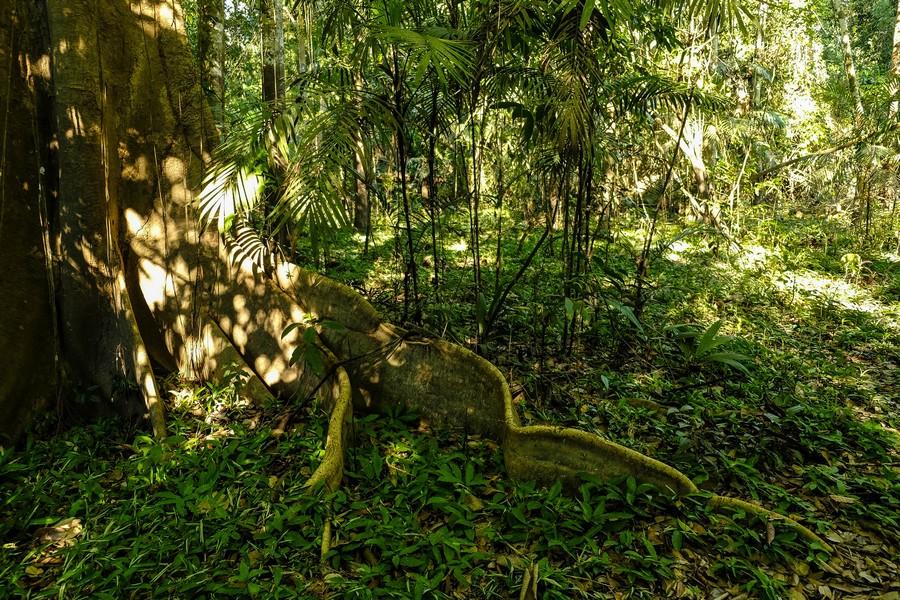 Racine d'un arbre typique d'Amazonie, Colombie.