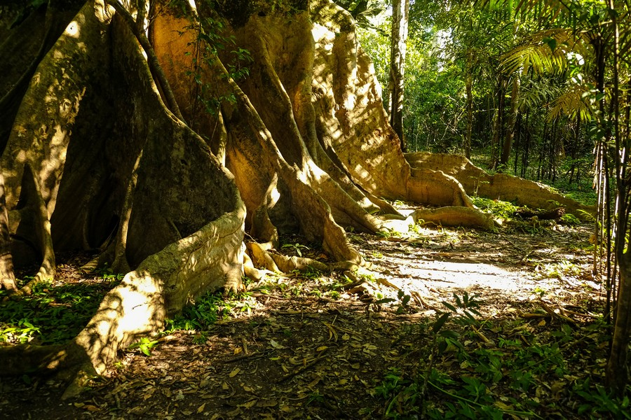 Arbre géant en Amazonie colombienne. Puerto Nariño.