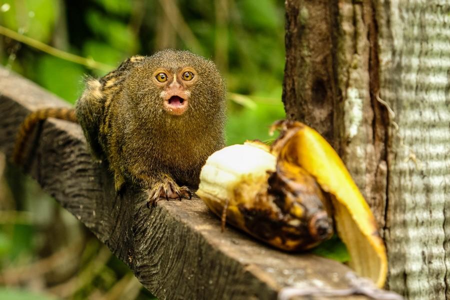 Ouistiti pygmée mangeant une banane à Puerto Nariño, Colombie.