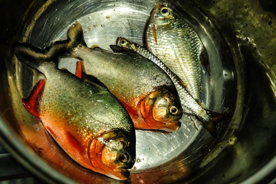 La pêche du jour: du piranha ! Puerto Nariño.