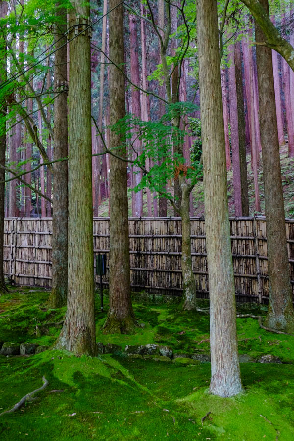 Forêt de sequoias à Kyoto, Japon.