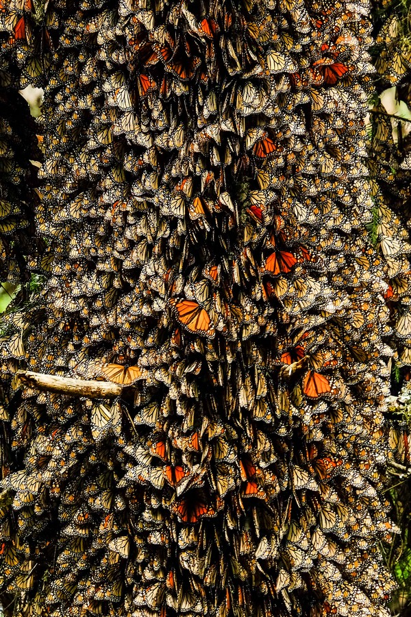 mexique-arbre-colonie-papillons-monarques
