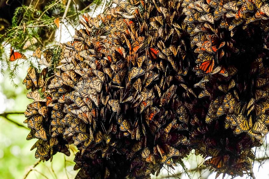 mexique-colonie-papillons-monarques-piedra-herrada
