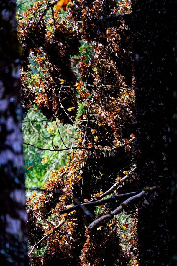 mexique-colonie-papillons-monarques
