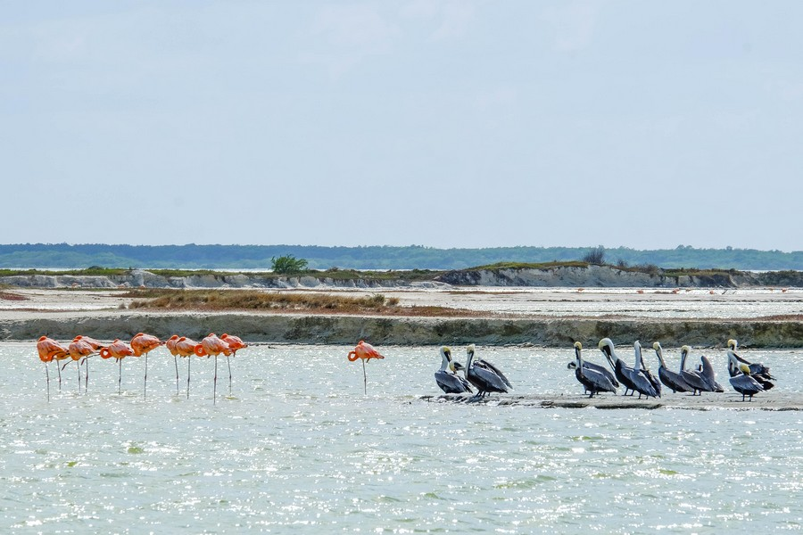 Groupe de flamands, gang de pelicans.