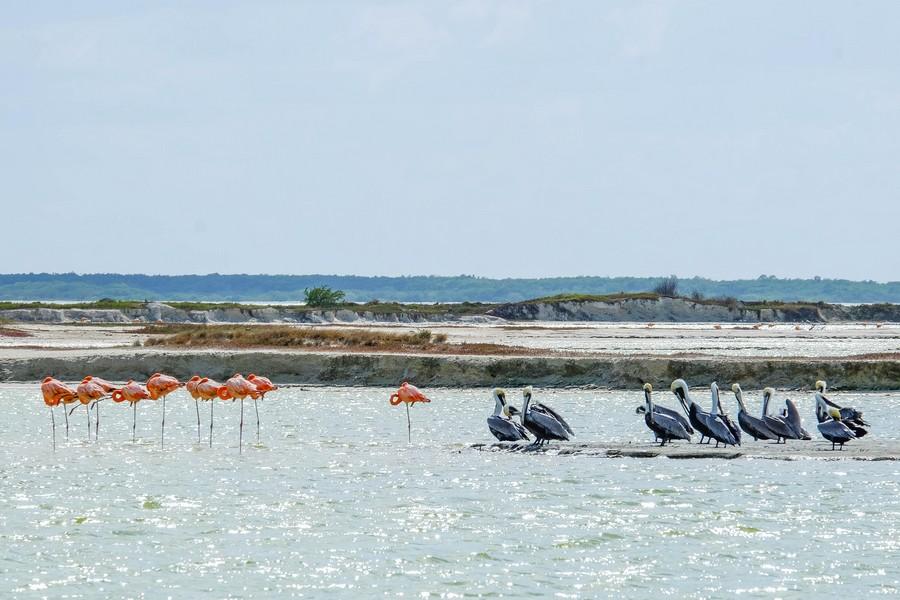 Groupe de flamands, gang de pelicans.