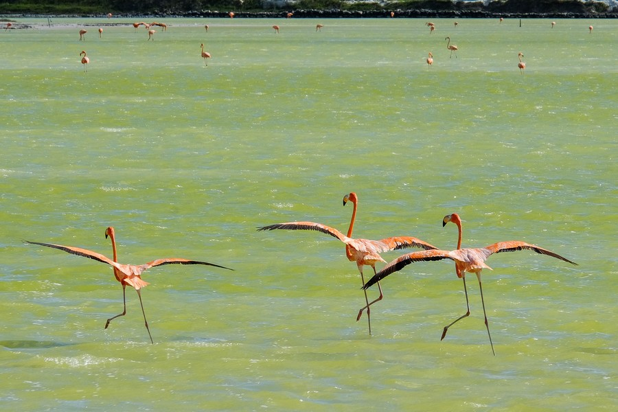 Le ballet ballerinesque des flamands roses.