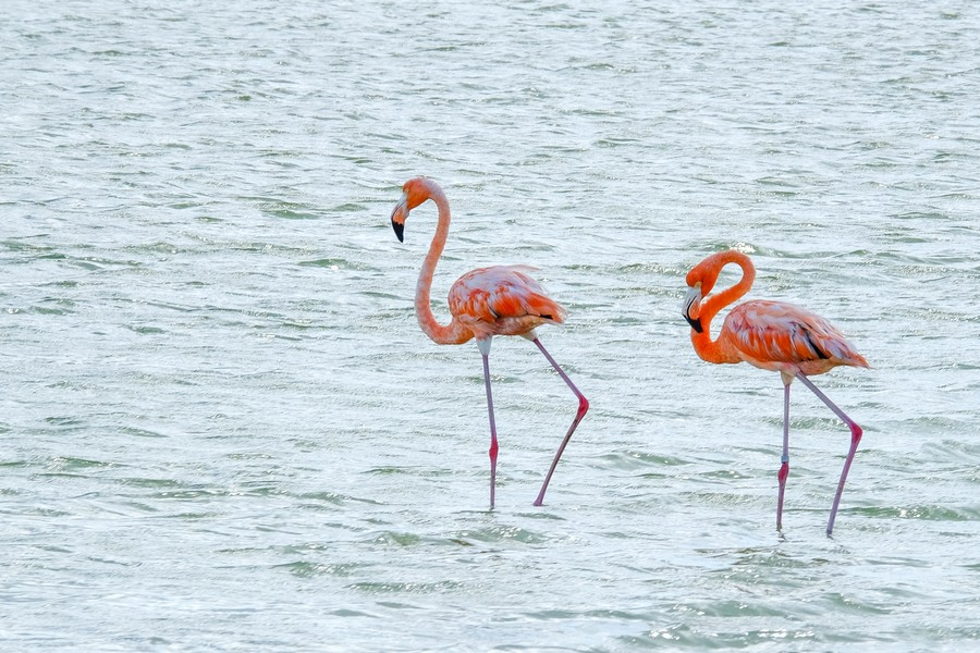 Couple de flamands roses mexicains.