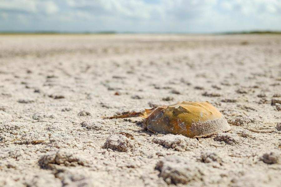 Limule échoué au Yucatan.