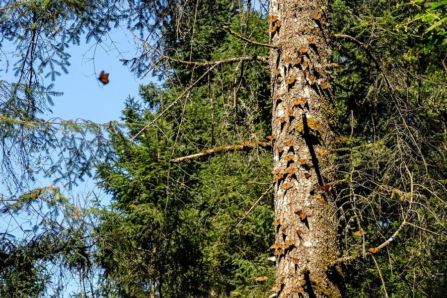 mexique-mariposa-monarca