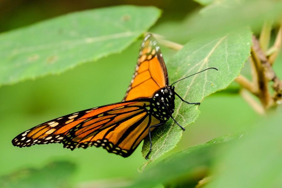 mexique-papillon-monarque-piedra-herrada