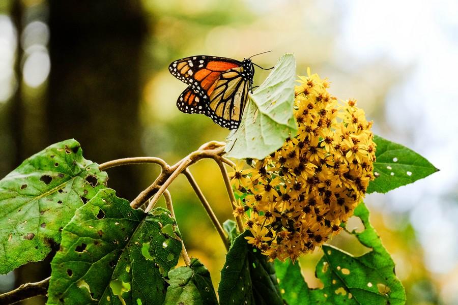 mexique-papillon-monarque